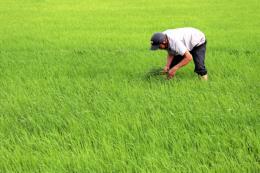 Phòng trừ rầy gây hại trên hàng nghìn ha lúa Hè Thu