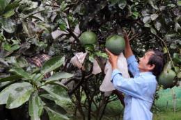 Khánh Hòa đưa bưởi da xanh thành cây trồng chủ lực