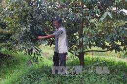Tiềm ẩn nguy cơ rớt giá khi nông dân ồ ạt trồng sầu riêng