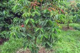 Nông dân lo vì cà phê catimor mất mùa