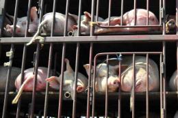 Nhật Bản hoàn tất biện pháp ngăn ngừa dịch tả lợn lây lan