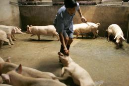 Nguy cơ dịch tả lợn châu Phi xâm nhập vào Lào Cai là rất cao