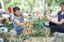 Nhãn lồng Hưng Yên: Vươn dài trải rộng thị trường