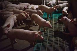 Tạm dừng nhập khẩu thịt lợn từ Ba Lan và Hunggary từ 20/9