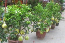Cách phòng trừ sâu bệnh cho cây bưởi Bonsai