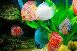 Tp. Hồ Chí Minh đặt mục tiêu kim ngạch xuất khẩu cá cảnh đạt ít nhất 22 triệu USD