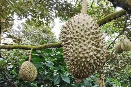 Sầu riêng đặc sản Đạ Huoai đem lại nguồn thu lớn cho nông dân Lâm Đồng