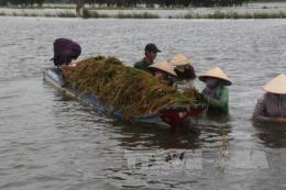Đồng bằng sông Cửu Long mùa nước nổi - Bài 1: Đe dọa nhiều diện tích sản xuất