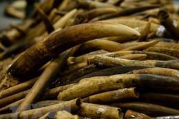 Hải quan Sân bay Nội Bài bắt gần 1 tấn ngà voi và vẩy tê tê