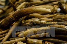 Bắt giữ 193 kg sản phẩm làm từ ngà voi tại cửa khẩu sân bay quốc tế Nội Bài