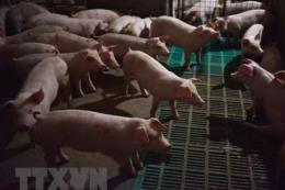 Dịch tả lợn châu Phi bùng phát ở Hong Kong (Trung Quốc)