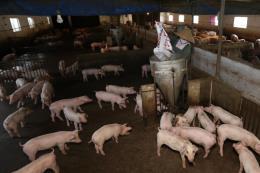 Thận trọng trong việc mở rộng sản xuất, tăng đàn lợn
