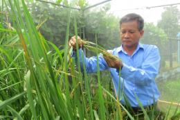Nông dân Đồng Tháp với đam mê sáng tạo lúa giống đặc sản