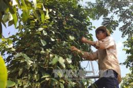 Hàng nghìn ha hồ tiêu tại Đắk Song, Đắk Nông chết hàng loạt