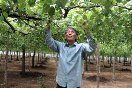 Mô hình trồng táo nhà lưới phòng ngừa dịch hại tại Ninh Thuận