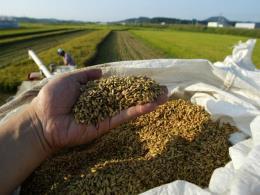 Sản lượng gạo Hàn Quốc thấp nhất trong gần 40 năm