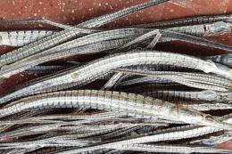 Cà Mau: Thương lái không tìm mua cá lìm kìm với giá cao