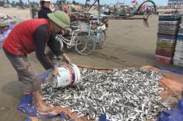 Ngư dân Quảng Bình được mùa ruốc và cá trích biển