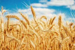 Thị trường nông sản tuần qua: Cả ngô, lúa mỳ đều tăng giá