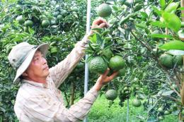 Tuần lễ giới thiệu cam, quýt đặc sản sẽ diễn ra từ 19/12 tại Hà Nội