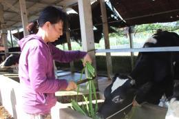 Đã có giải pháp cho đàn bò sữa