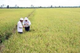 Giá lúa giảm khiến nông dân thất thu