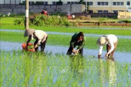 Gần 99% diện tích có nước để gieo cấy
