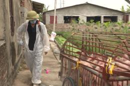 Đã giải trình được gen vi rút gây bệnh dịch tả lợn châu Phi tại Việt Nam