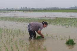 Hải Dương hoàn thành gieo cấy lúa Đông Xuân 2019