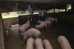 Hơn 80% số xã, phường, thị trấn của Hưng Yên công bố hết dịch tả lợn châu Phi