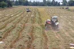 Diện tích liên kết sản xuất lúa tại Đồng Tháp giảm hơn 6.000 ha