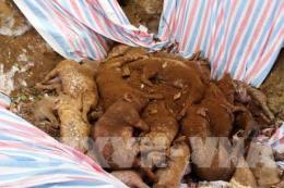 Dịch tả lợn châu Phi đã lan ra 10/10 huyện thành phố ở Hưng Yên