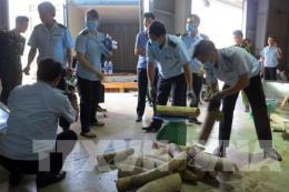 Ngụy trang ngà voi trong thùng hàng tôm hùm nhằm qua mặt hải quan