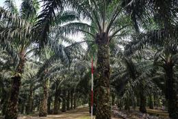 Giá dầu cọ của Malaysia sẽ không