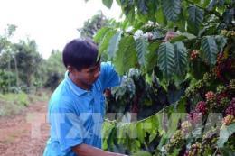 Lâm Đồng phát triển 300ha vùng trồng cà phê công nghệ cao