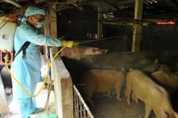 Kiểm soát vận chuyển lợn nuôi làm giống, thương phẩm trong và ngoài vùng dịch?