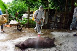 Hỗ trợ kinh phí phòng, chống bệnh dịch tả lợn châu Phi