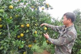 Hòa Bình mở rộng diện tích cây ăn quả có múi và rau an toàn