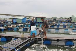 Làm rõ phản ánh của người dân về nguyên nhân cá nuôi lồng bè chết hàng loạt