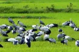 Hàng nghìn con chim lạ xuất hiện giúp dân diệt ốc bươu vàng