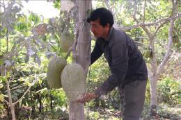Ồ ạt đổi đất lúa sang trồng mít Thái, tiềm ẩn nhiều hệ lụy