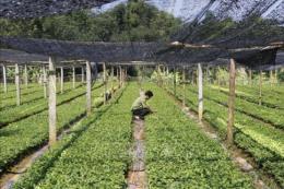 Phát triển cây lâm sản ngoài gỗ