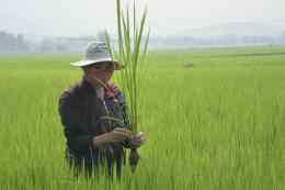 Gia tăng diện tích lúa bị sâu bệnh gây hại