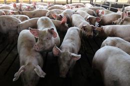 Trung Quốc thông báo ca tả lợn châu Phi mới