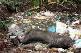 Xử nghiêm các đối tượng vứt xác lợn ra môi trường
