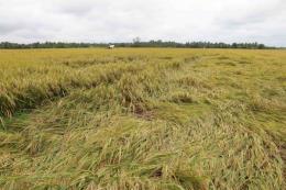 Hàng nghìn ha lúa Hè Thu chín rộ sắp thu hoạch bị đổ ngã