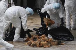 Cần Thơ tiêu hủy 1.500 con gà đã tiêm phòng bị nhiễm cúm A/H5N1