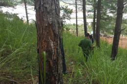 Phát hiện vụ hủy hoại, phân lô rừng thông 3 lá tại Đà Lạt