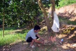 Tuyên Quang: Điều tra vụ việc phá hoại vườn bưởi của người dân ở xã Thắng Quân