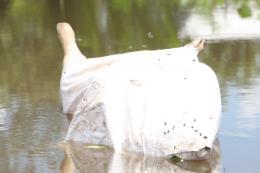 Báo động nạn vứt xác lợn chết xuống lòng sông tại Hậu Giang